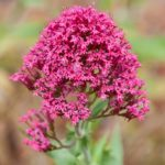 Кентрантус – яркое растение с красивыми соцветиями
