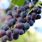 Неукрывной виноград — какие сорта выбрать