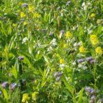 Сидераты – биолекари почвы