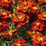 Самые популярные цветы бархатцы